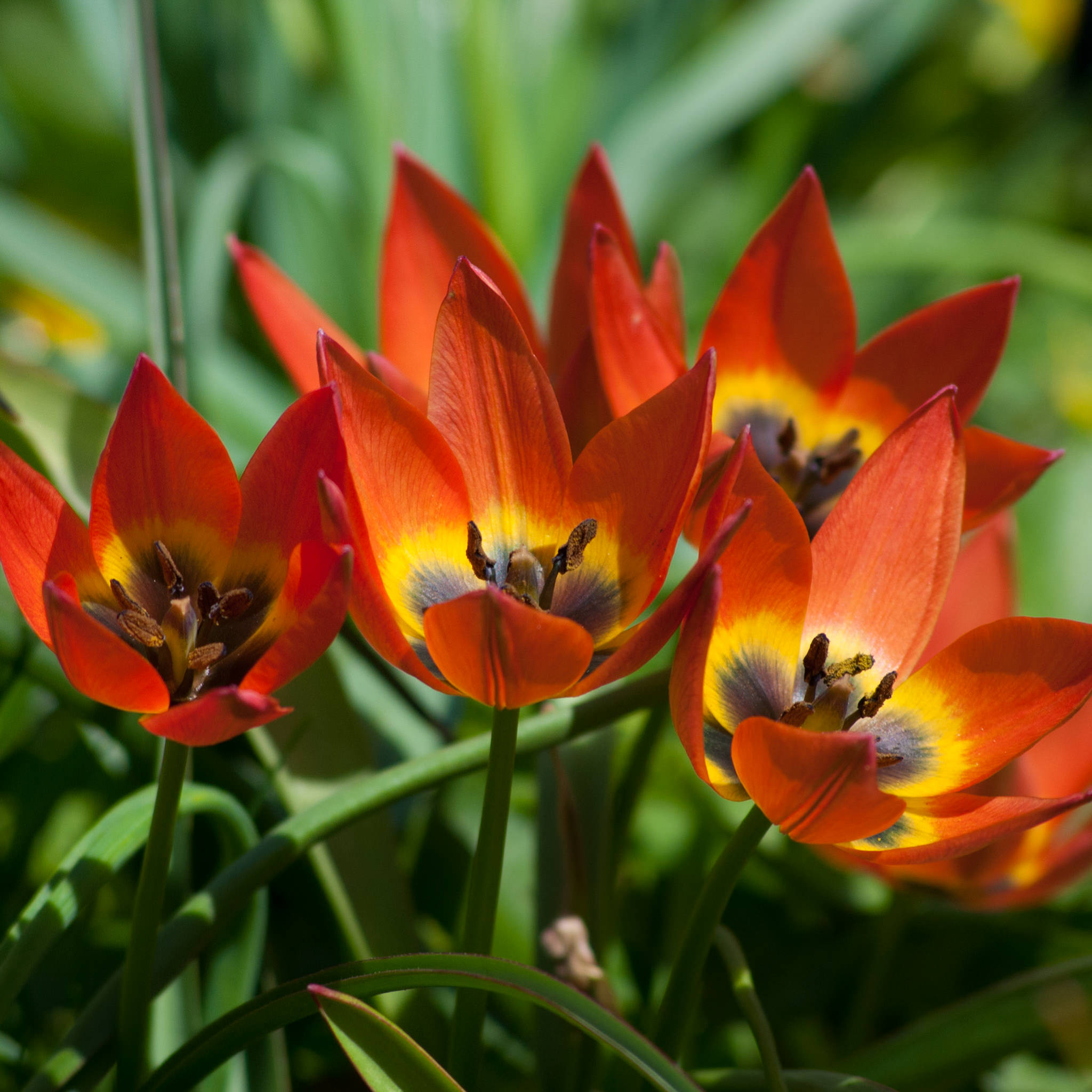 Tulip Bulbs Little Princess