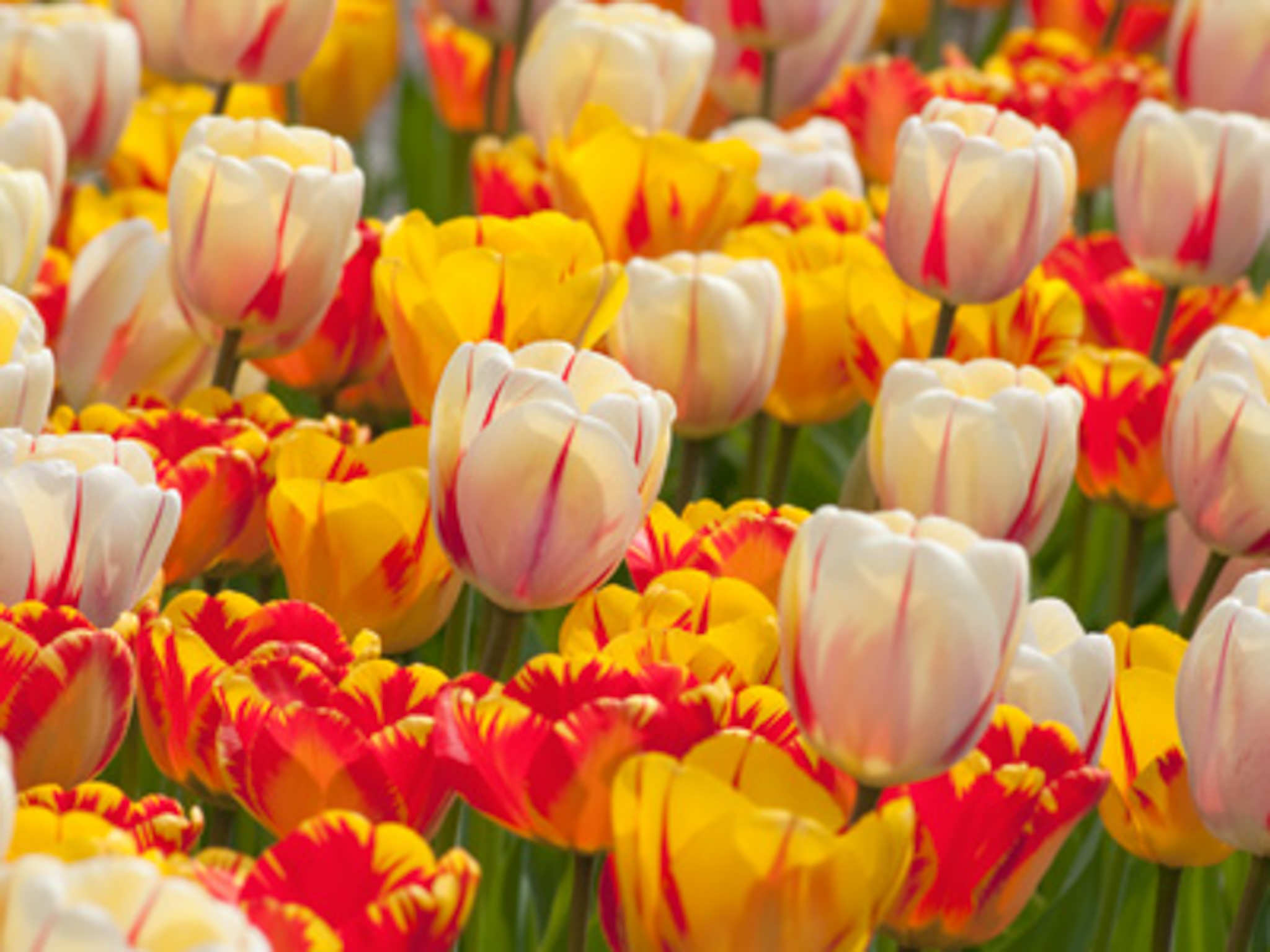 Tulip Bulbs Torch Song
