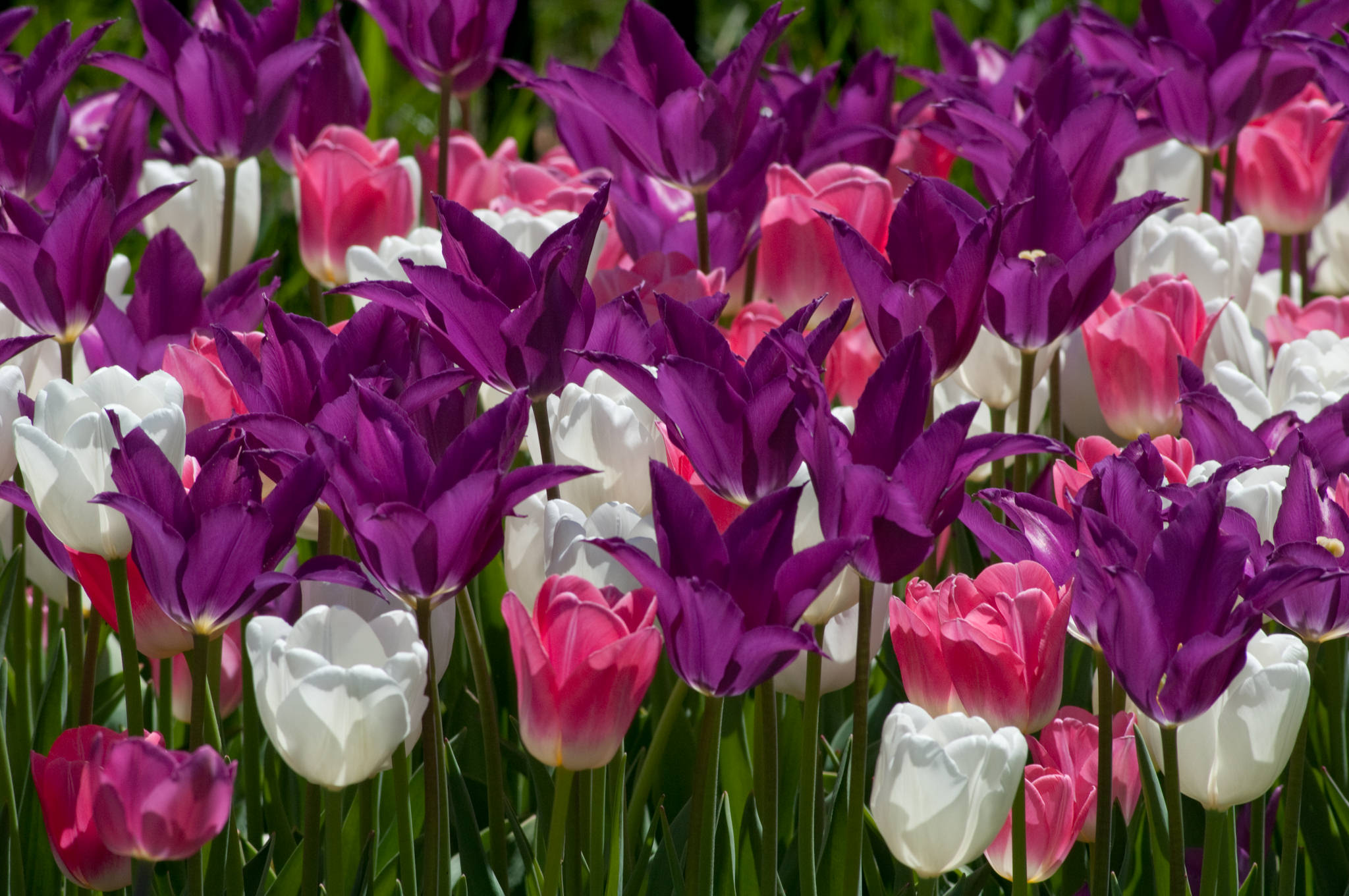 Tulip Bulbs Trident