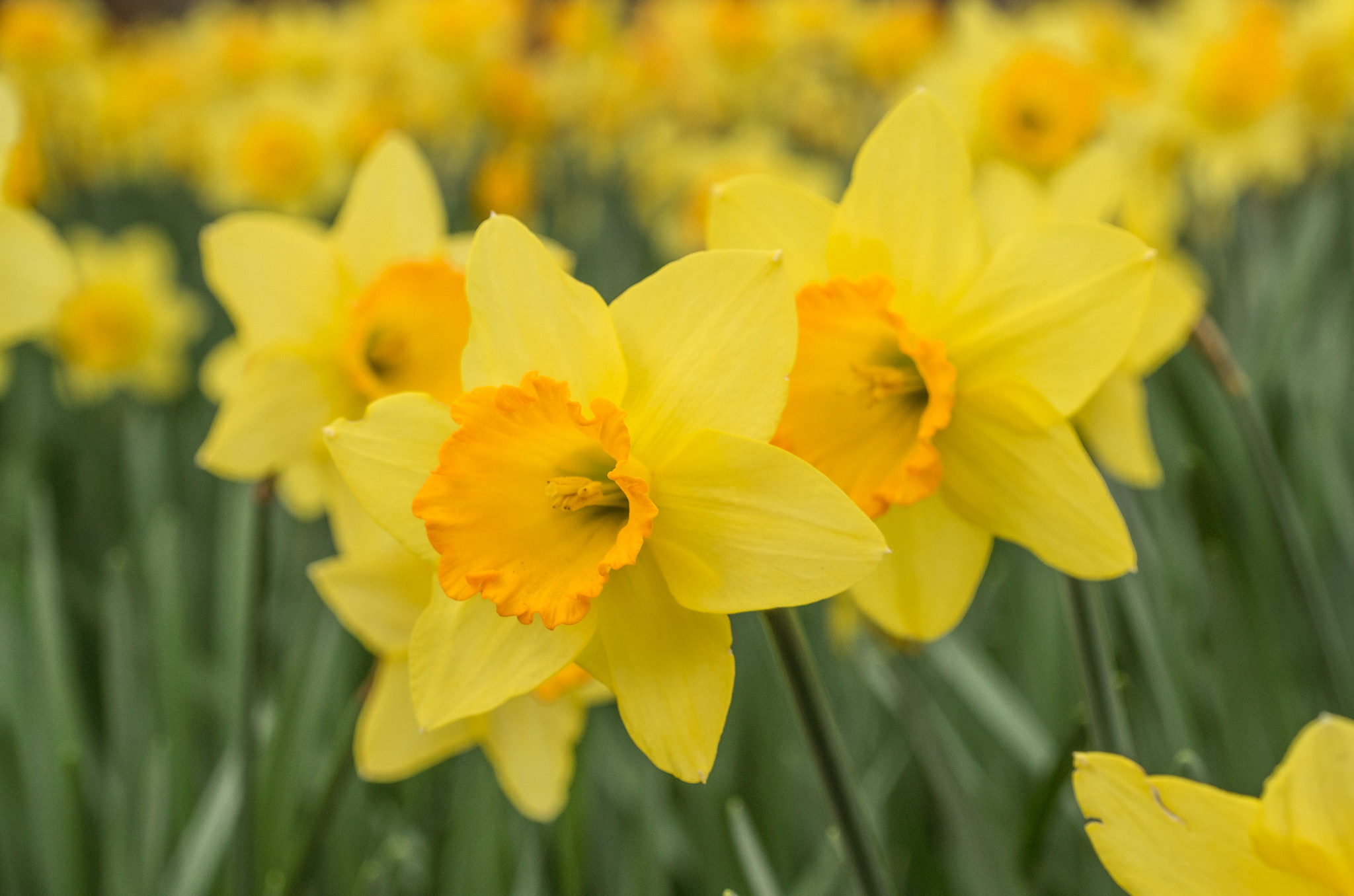 Daffodil Bulbs Fortune LS