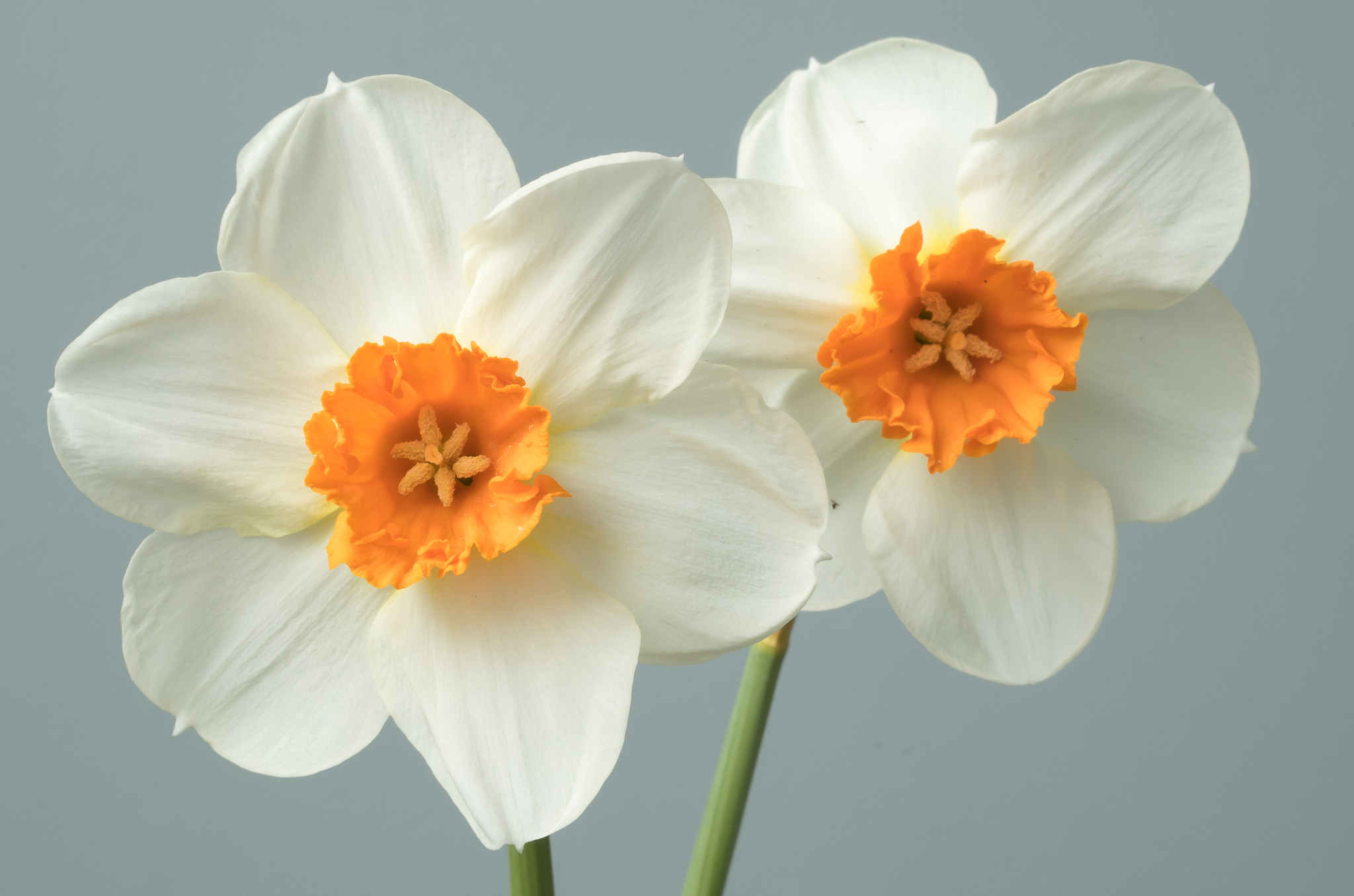 Daffodil Bulbs Barrett Browning