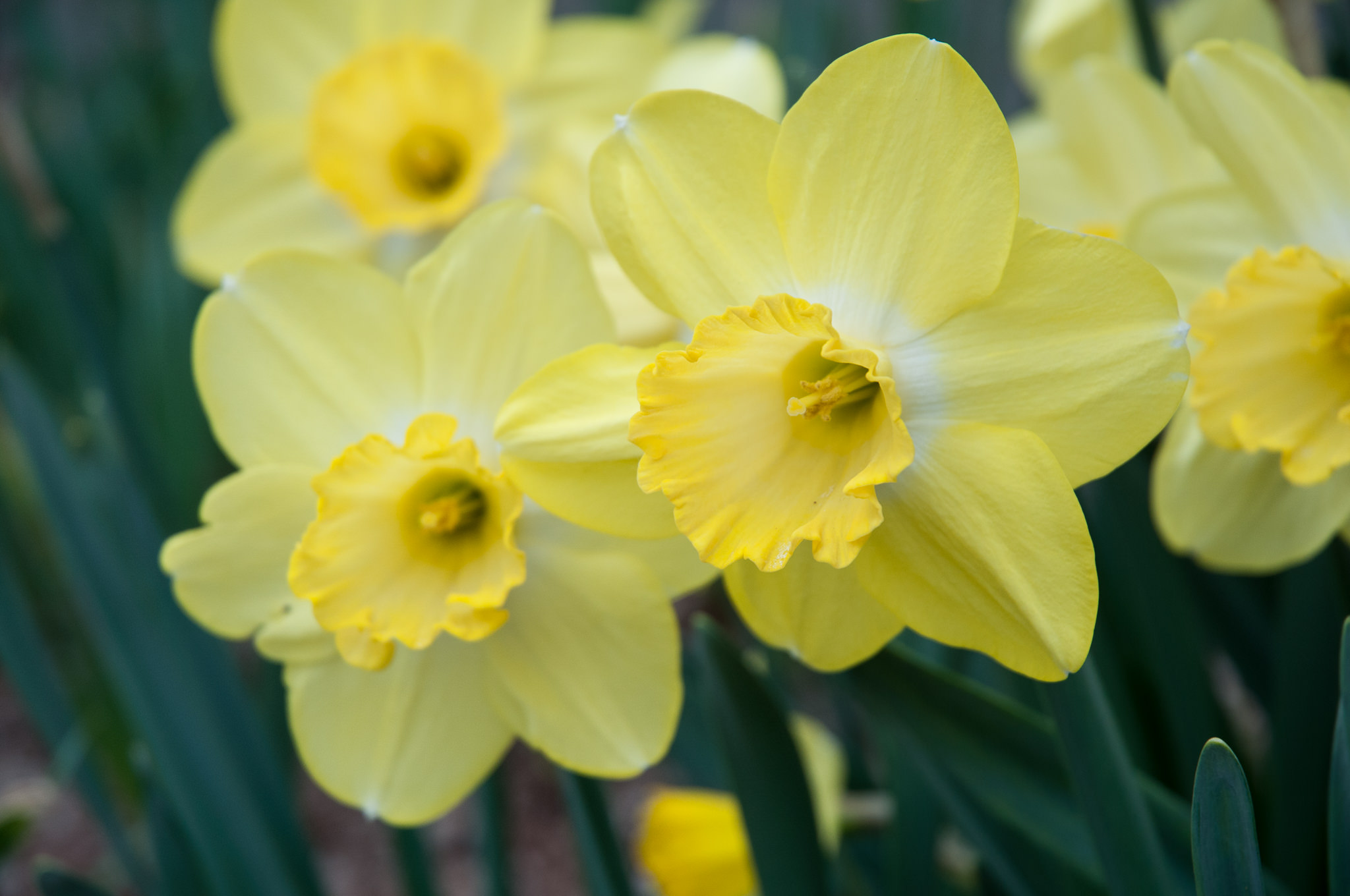 Daffodil Bulbs Fellows Favorite