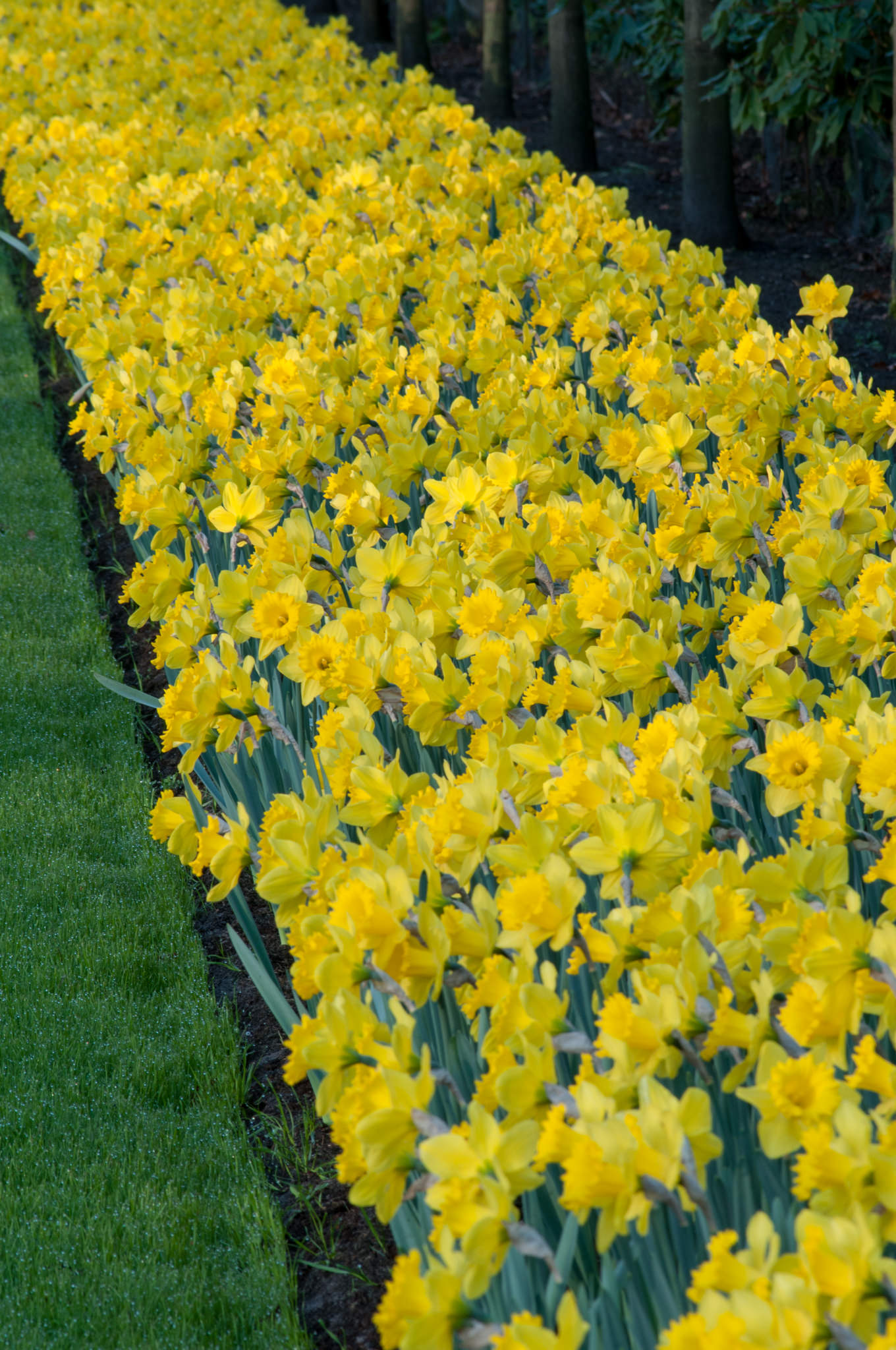 Daffodil Bulbs Dutch Master LS