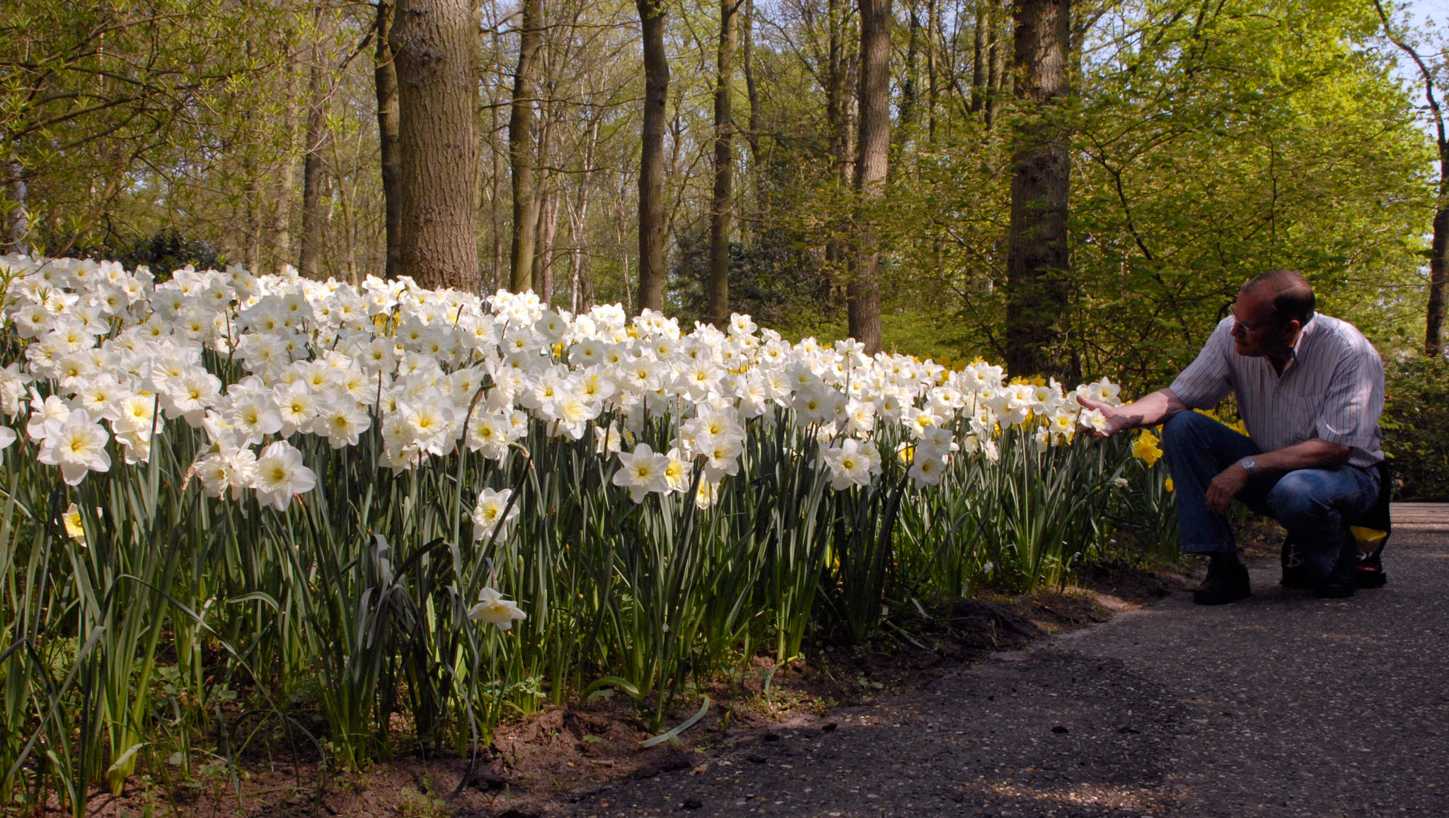 Daffodil Bulbs Ice Follies LS