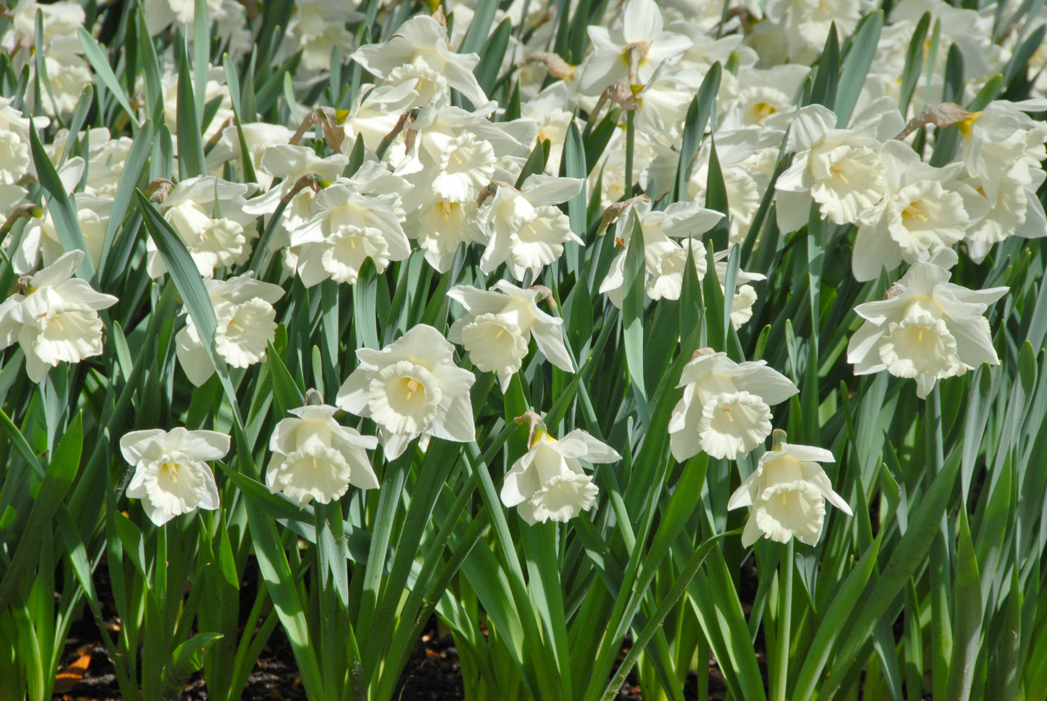 Daffodil Bulbs Mount Hood LS