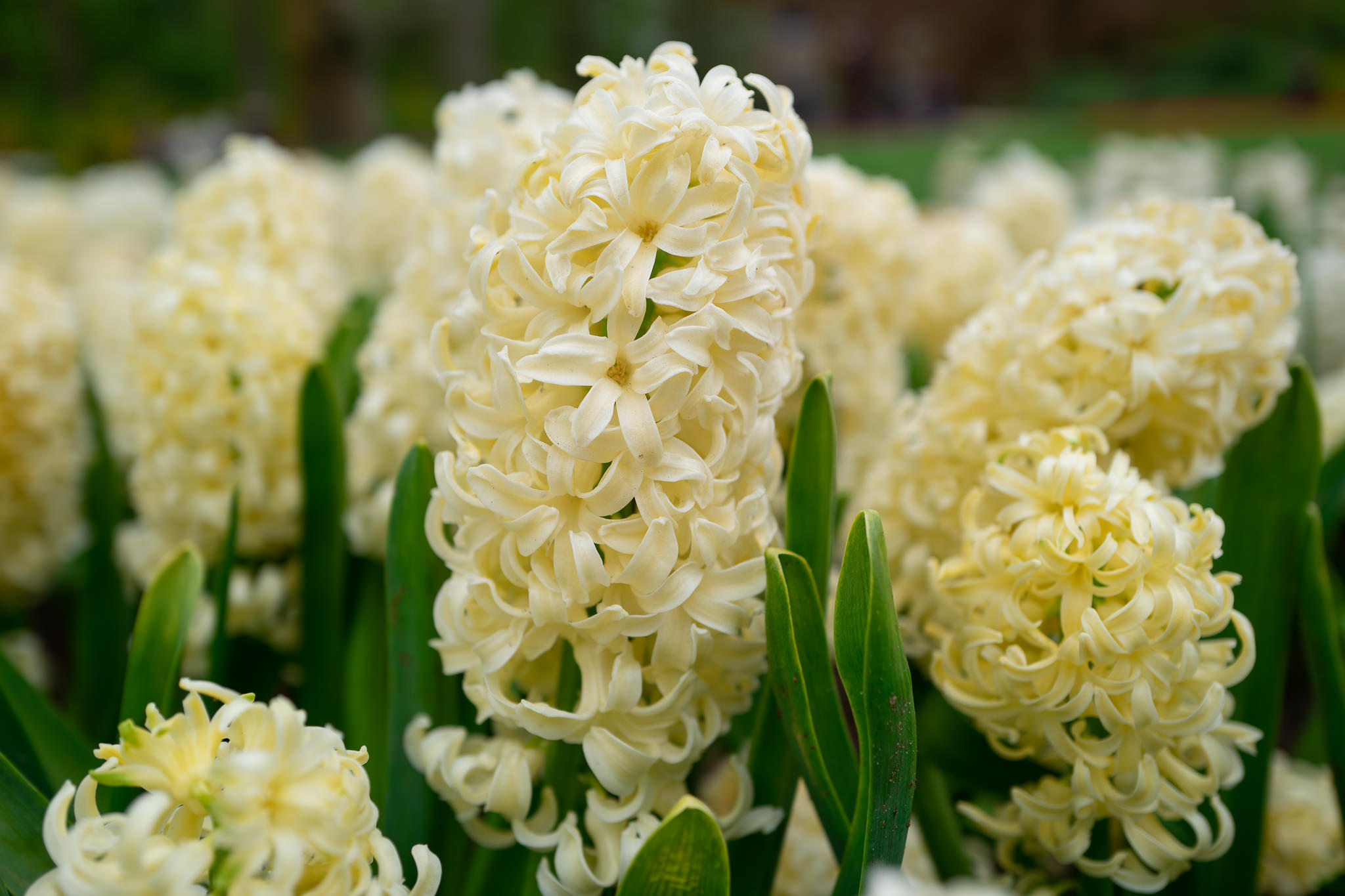 Hyacinth Bulbs Hyacinth City of Haarlem