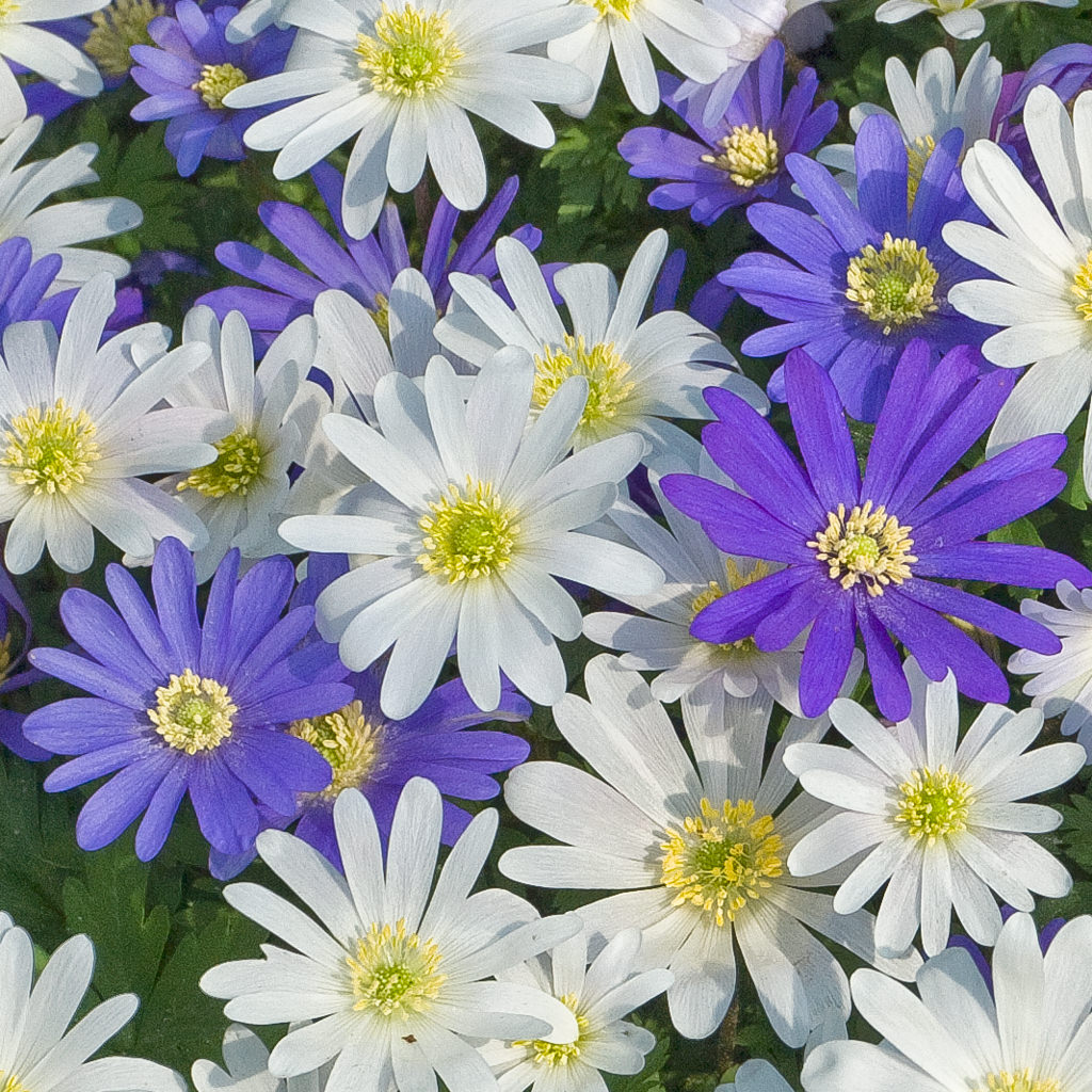 Photo of Windflowers