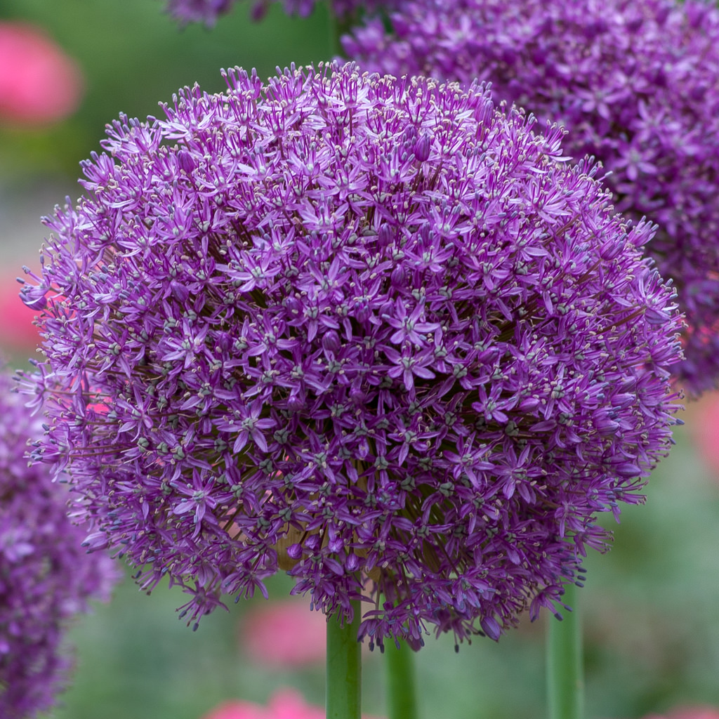 Allium Bulbs Dutch Flower Bulbs At Wholesale Prices Colorblends