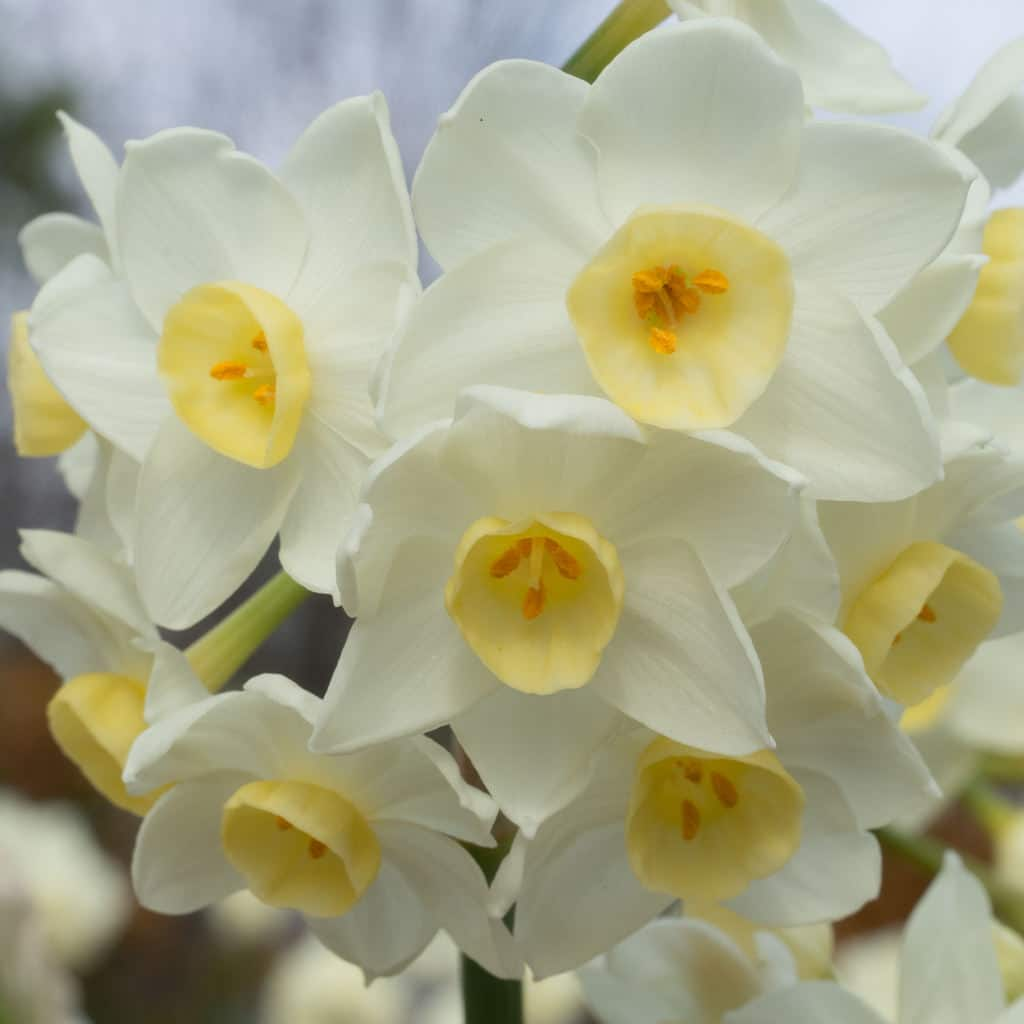 Daffodils For The South Dutch Flower Bulbs At Wholesale Prices Colorblends