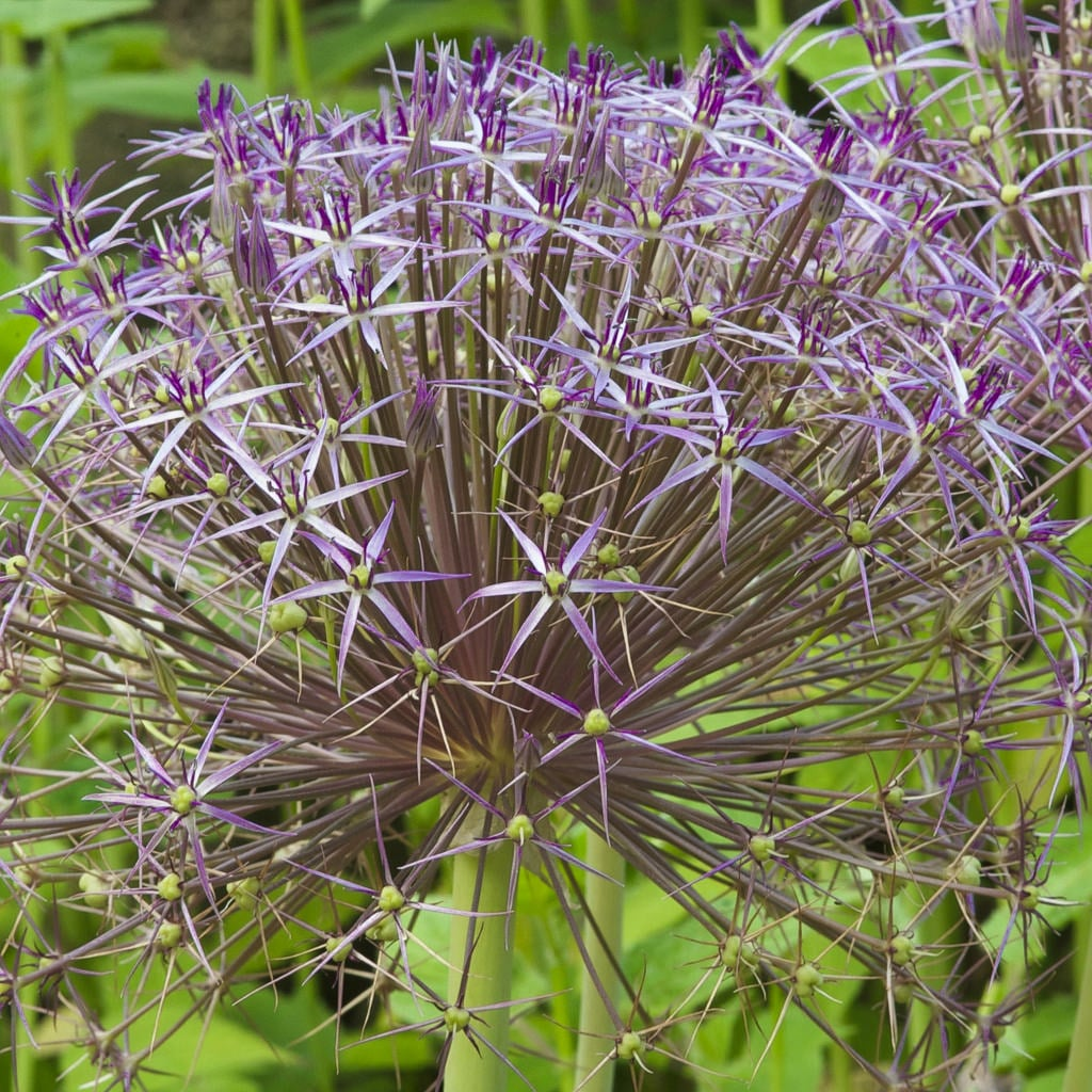 Allium Bulbs Item 6014 Christophii For Sale Colorblends