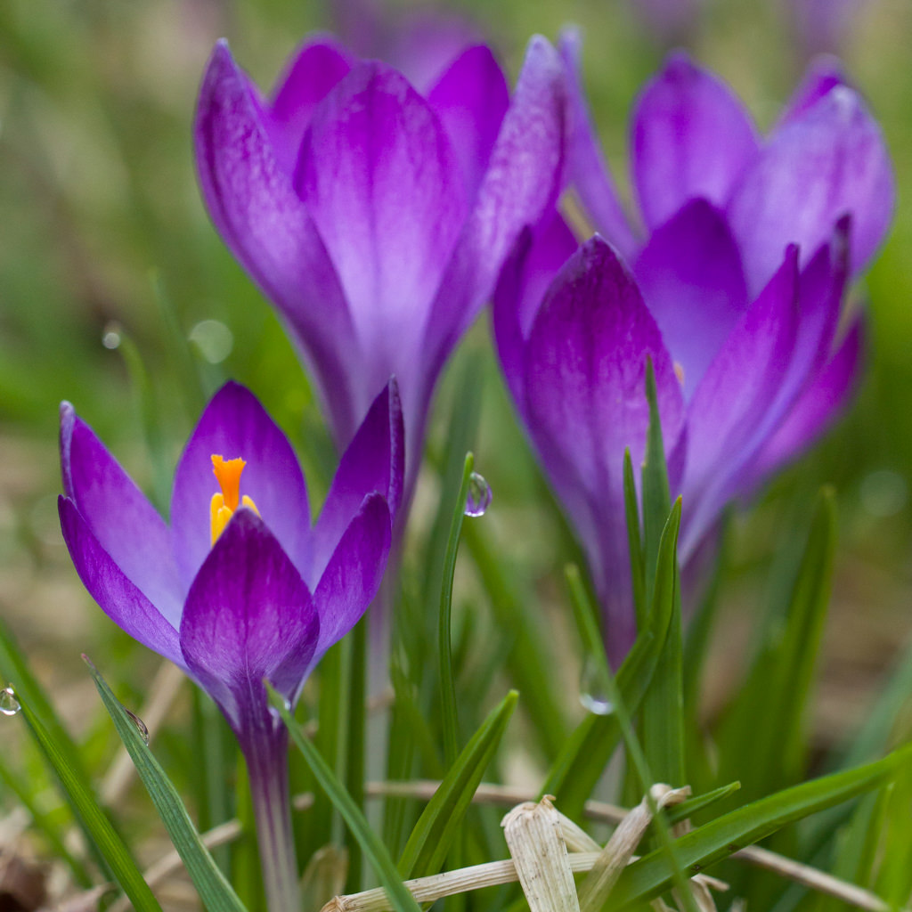Crocus Bulbs Dutch Flower Bulbs At Wholesale Prices Colorblends