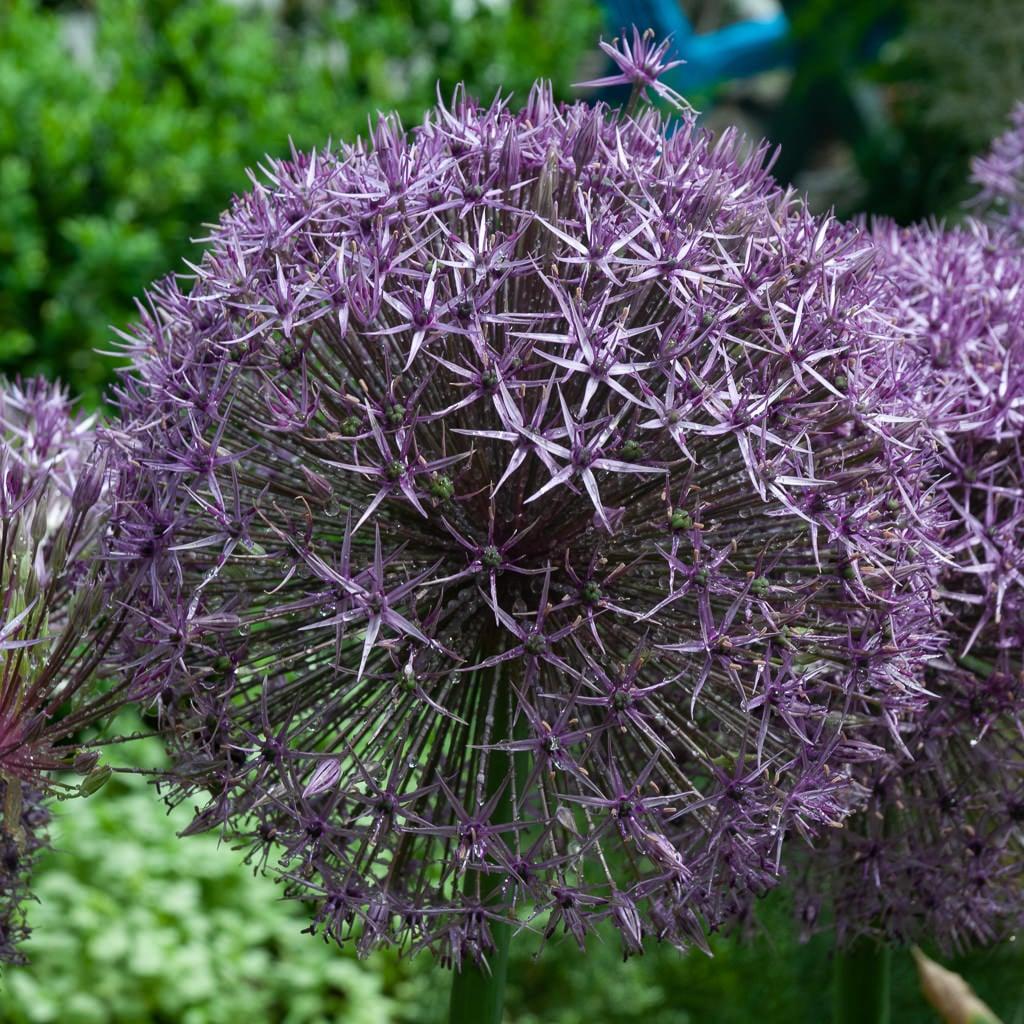 Allium Bulbs Item 6087 Universe For Sale Colorblends