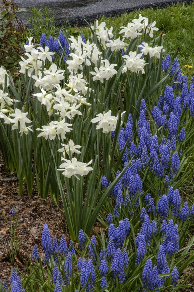 Daffodil Thalia with Grape Hyacinths