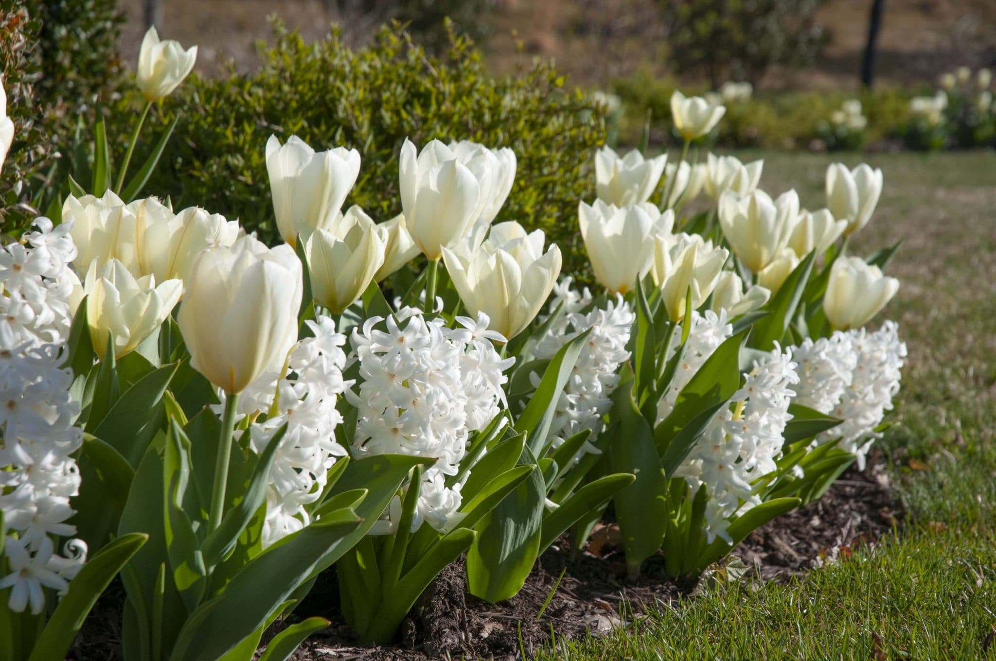 Tulip Best White and Hyacinth Carnegie