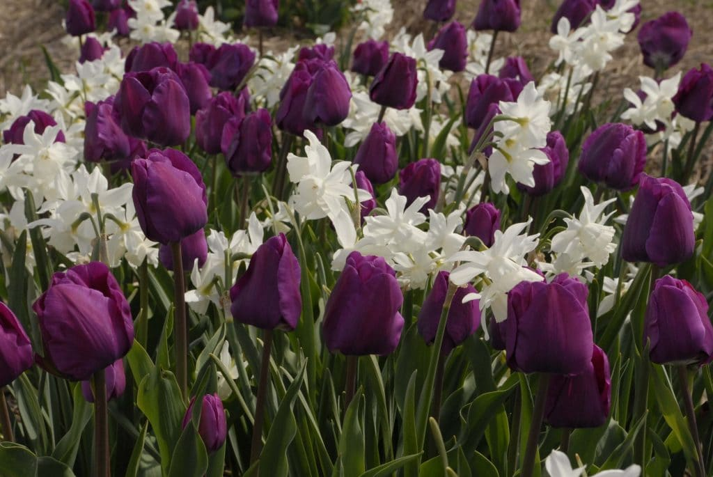 Tulip Best Purple with daffodil Thalia