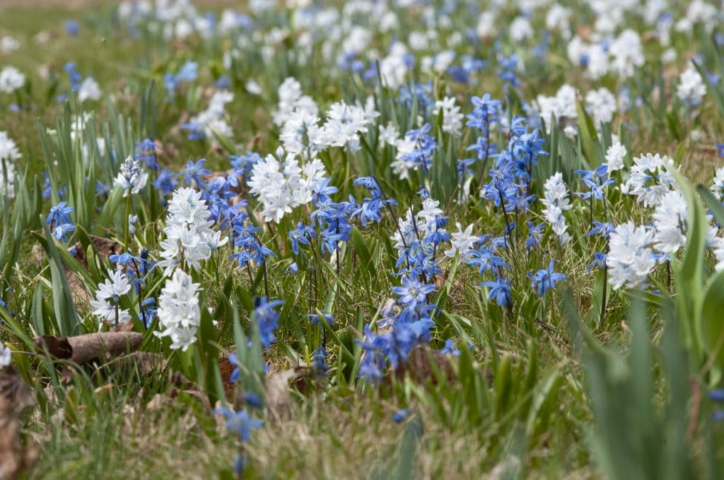 Striped Squill with Blue Squill