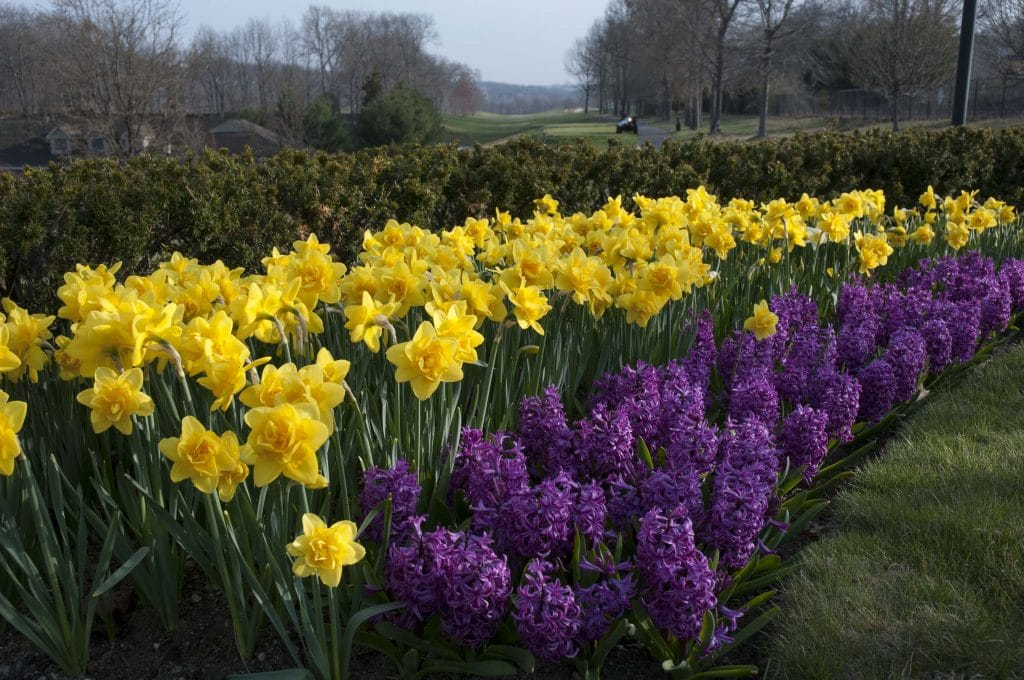 Daffodil Queen's Day and hyacinth Purple Sensation