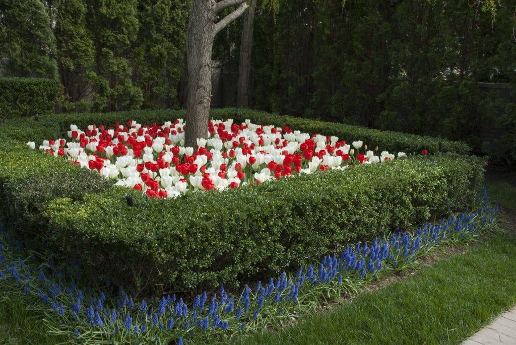 White Hot tulip blend