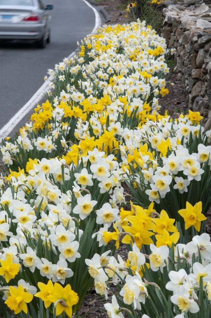The Gold Shoulder daffodil blend