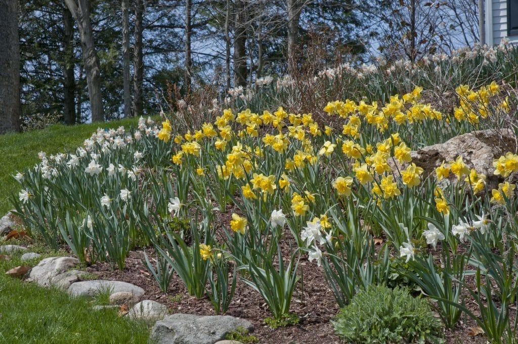 Mount Hood and Carlton daffodils