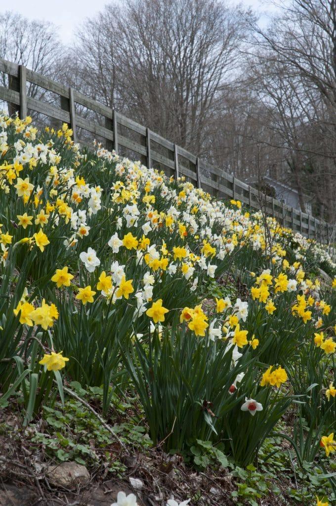 Spring Loaded daffodil blend