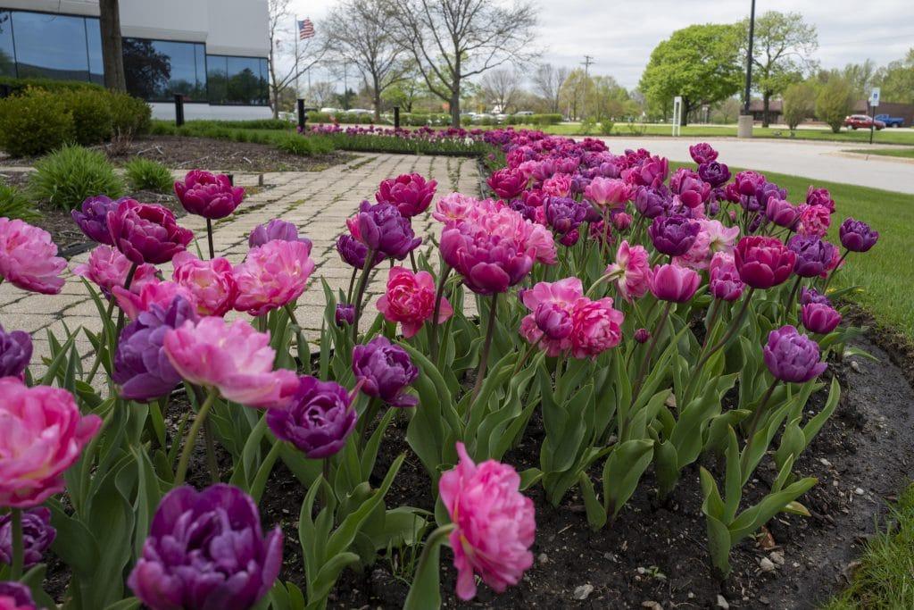 Beyond Baroque tulip blend